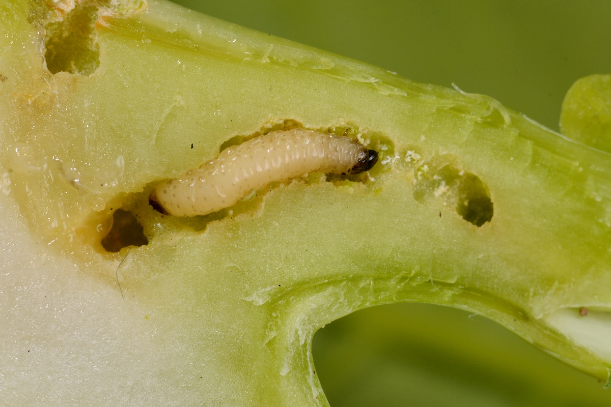darázs parazita